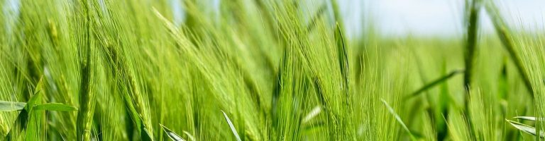barley, cereal, grain